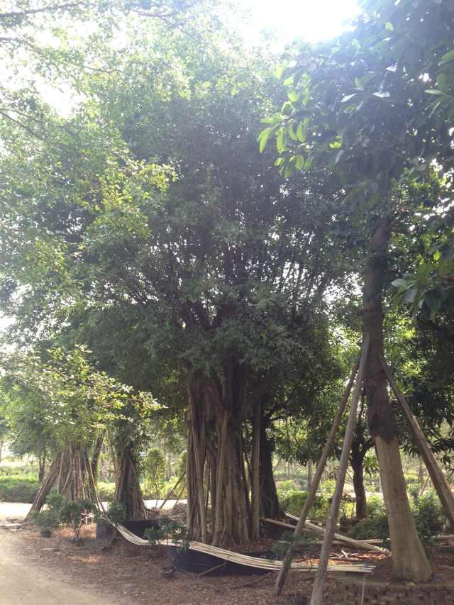 企业库/中国最大的企业库/首页 农业 绿化苗木 乔木  细叶榕树 相关