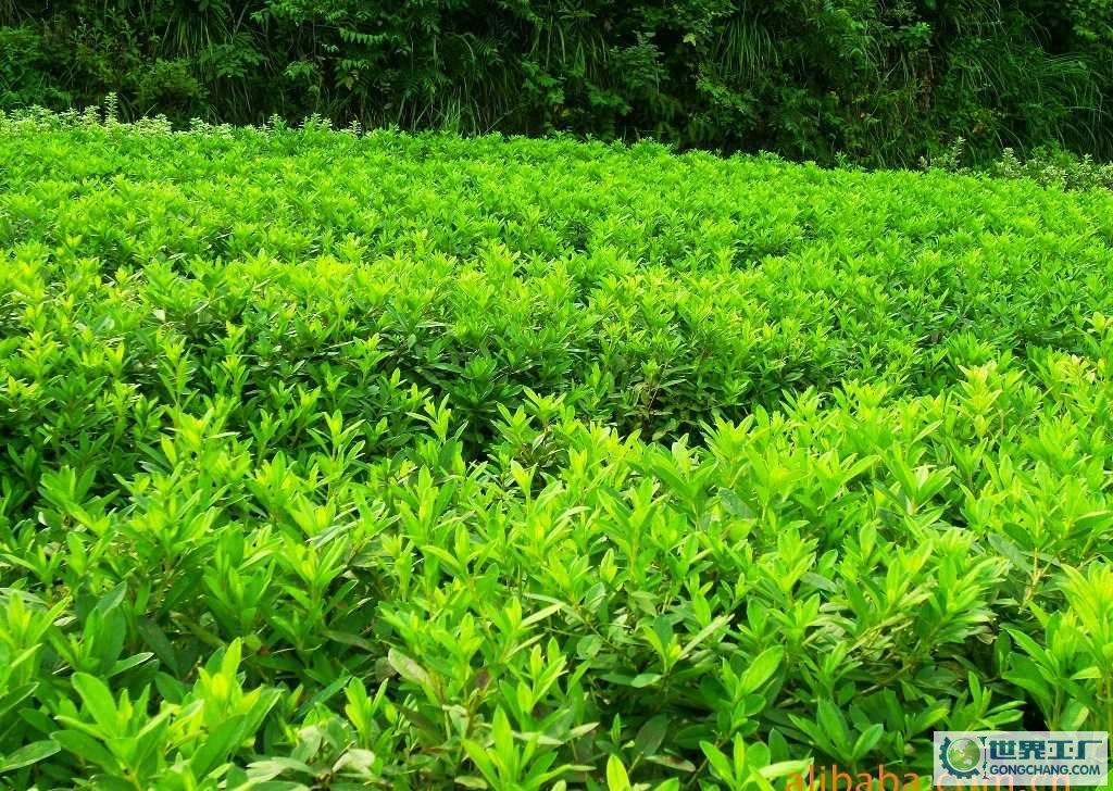 绿化苗木_绿化苗木品种及_绿化苗木品种及名称_绿化苗