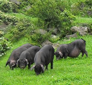 黑猪制作宣传单步骤