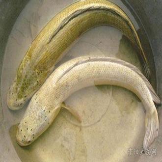乌鱼骨骼结构图