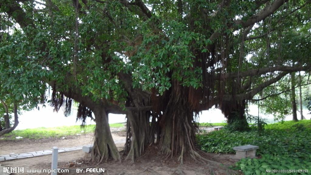 西双版纳大榕树