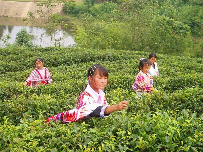 苗嶺姑娘采茶