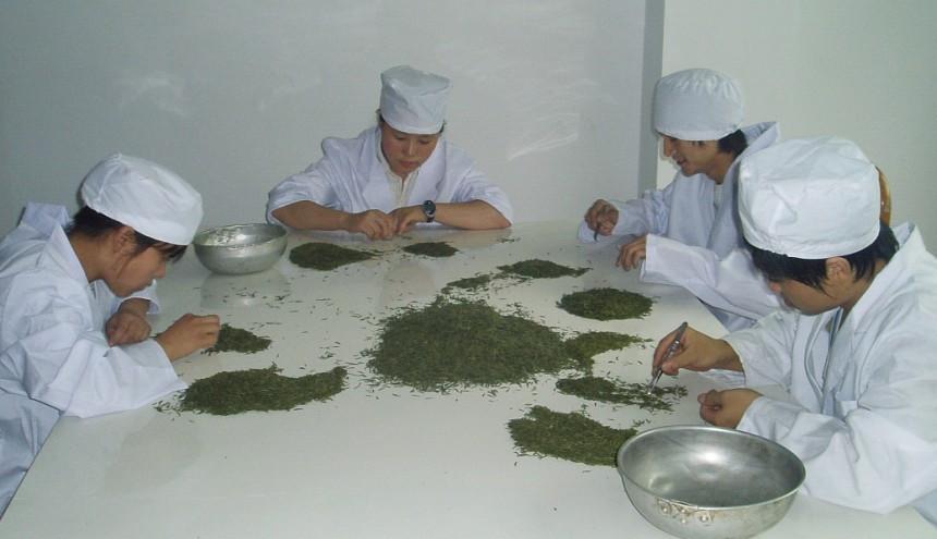 公司相册:正在进行茶叶精选