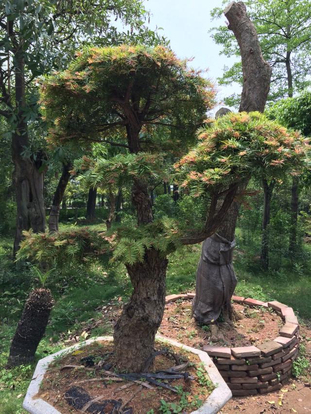 红芽油杉图片|红芽油杉产品图片由广州市南沙区万顷