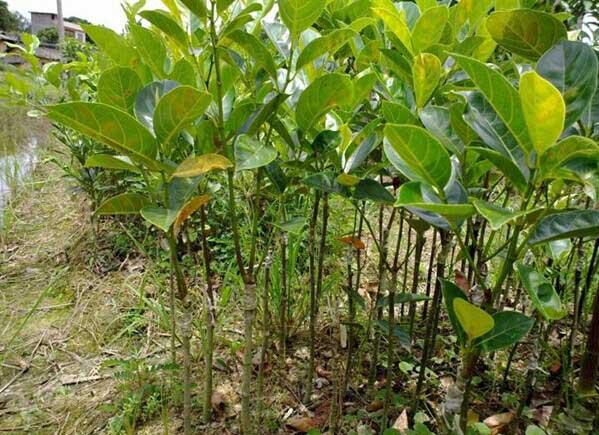 树菠萝树苗_大树菠萝