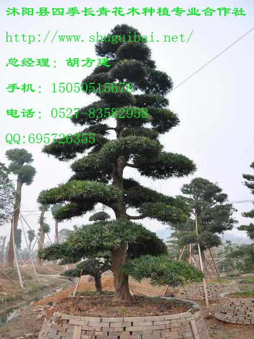 四季常青的松树图片